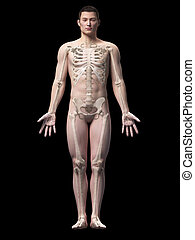 Asian anatomy - Illustration of the skeleton of an asian...
