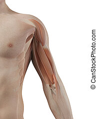 Male muscles - Medical illustration of the biceps muscle