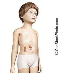 Child anatomy - Anatomy of a young child - urinary system
