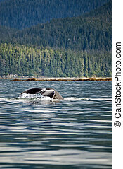 Humpback Whale Tail - Whale watching adventure from Juneau...