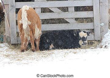 Bull Calves on Snowy Day