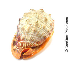 exotic shell - image of an exotic shell over a white...