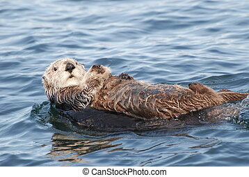 Sea Otter - A sea otter floating
