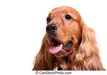 english cocker spaniel isolated over white background