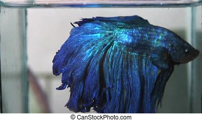 Colorful fighting fish
