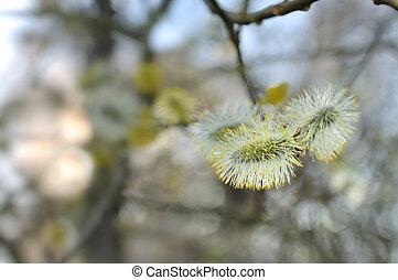 florecimiento, aliso, árbol