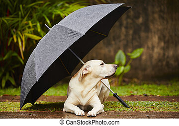 Dog in rain - Labrador retriever in rain is waiting under...