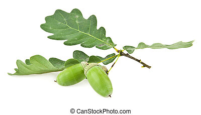 acorns on a white background