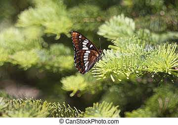 Lorquin's Admiral Butterfly.  Photo taken at Mount Saint Helens National Volcanic Monument, Washington.