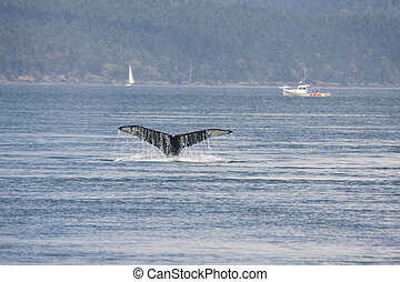 Humpback Whale (BCY0324). Photo taken from Island Explorer 3...