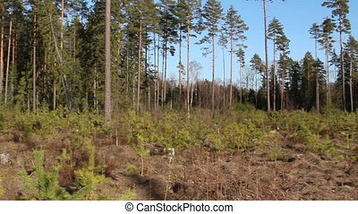 Area is surrounded with pine Pinus Silvestris trees - Area...