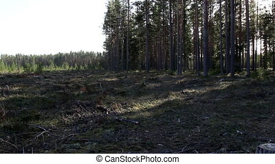 Lots of trees in the stump forest - Lots of tall trees in...