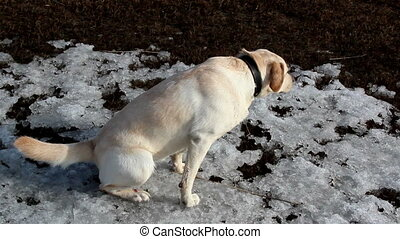 A labrador dog pissing and standing on snow - A labrador dog...