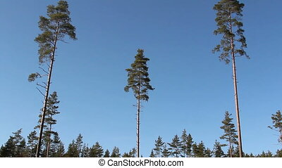 Tall pine Pinus Silvestris trees all over the area