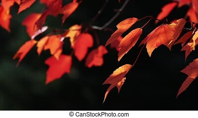 Autumn Maple Foliage Loop - Autumn maples leaves in vibrant...
