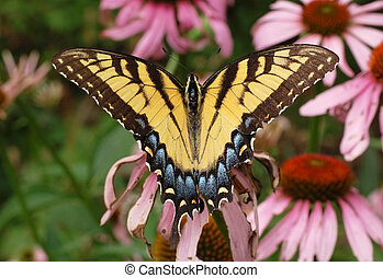 Eastern Tiger Swallowtail - An Eastern Tiger Swallowtail...