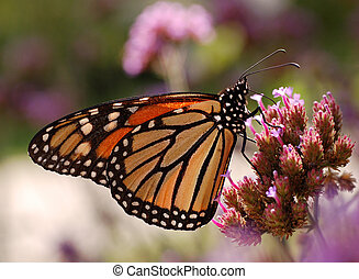 Monarch Butterfly Feeding - A Monarch Butterfly (Danaus...