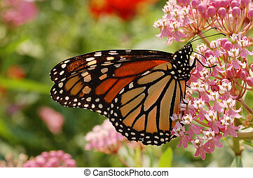 Monarch Butterfly on Milkweed - A Monarch Butterfly (Danaus...