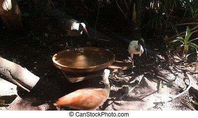 Sacred Ibis drinking water