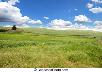 Rolling wheat fields - Scenic landscape near Palouse...
