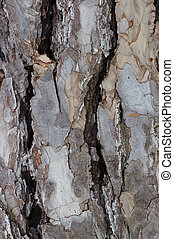 Austrian Pine Tree Bark - Closeup of the bark on the...