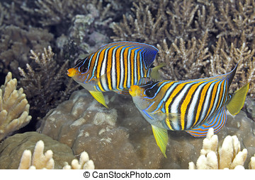 Two Regal Angelfish, swimming over coral reef. Also known as...
