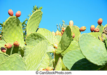 cacti with fruit closeup on the blue sky background