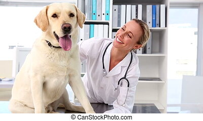 Vet checking a yellow labrador in her office