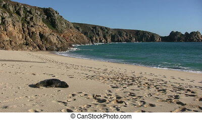 Small seal Porthcurno beach. - A small seal Porthcurno...