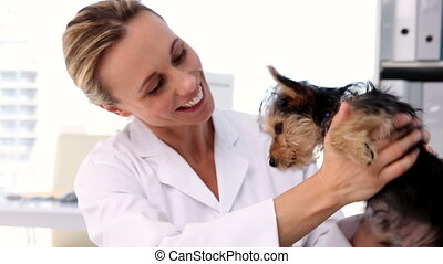 Vet checking a yorkshire terrier - Vet checking a yorkshire...