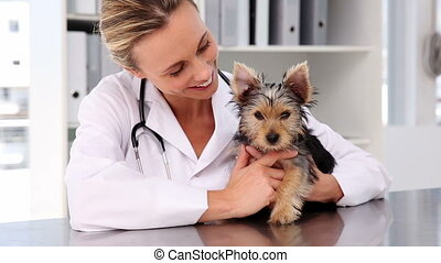 Vet checking a yorkshire terrier in her office