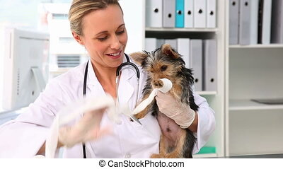 Vet putting a bandage on a yorkshire terrier in her office
