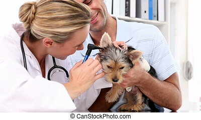 Vet checking a yorkshire terrier with its owner in her...
