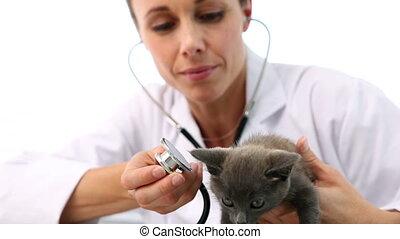Vet checking a grey kitten in her office