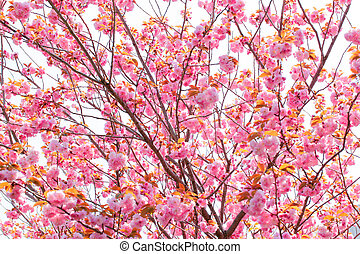 Blooming double cherry blossom