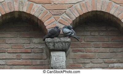 bird in Love - two Pigeon in love on the walls of the Rocca...