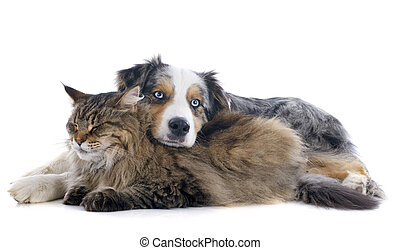 dog and cat - australian shepherd and maine coon cat in...