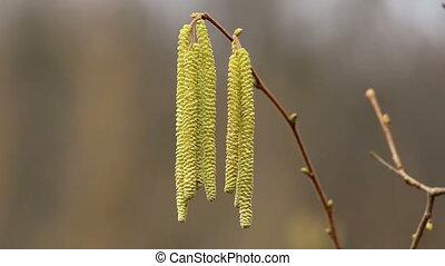 Corylus avellana Hazelnoot flowers - Corylus avellana...