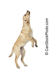Beautiful Labrador retriever isolated on white background -...