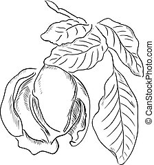 Walnut - Figure walnut leaves. Vector illustration is made...