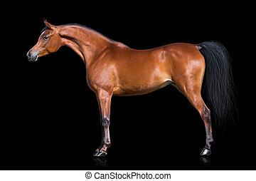 Häst, Arab, svart, isolerat