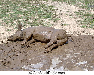 pig in mud - piglet enjoying a nap in the mudd