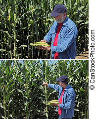 Agronomist examine corn cob and field - Farmer holding corn...