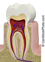 Tooth section - Very high resolution 3d rendering of an...