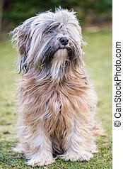 Tibetan Terrier - A male purebred tibetan terrier dog