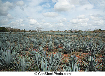 Agave field - Tipical tequila agave cactus field in Mexico