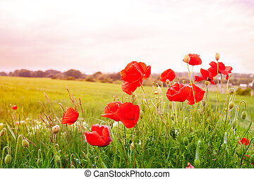 Red poppy flowers - Poppy flowers in the spring field over...