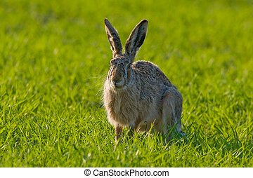 Portrait of a brown hare - Portrait of a sitting brown hare...