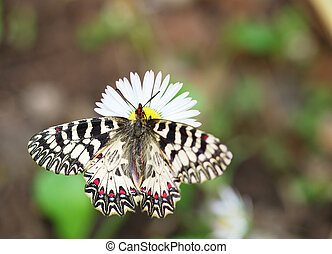 Southern festoon on daisy - Butterfly Southern Festoon...