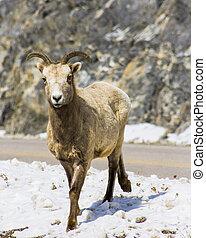 grande, cuerno, Sheep, Montaña, Goat